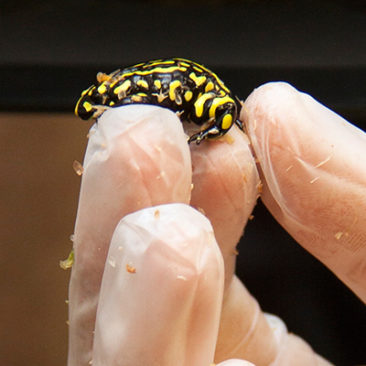 Corroboree Frog Conservation