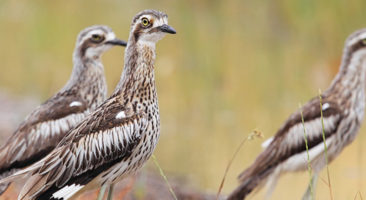Learning about Bush Stone-curlews
