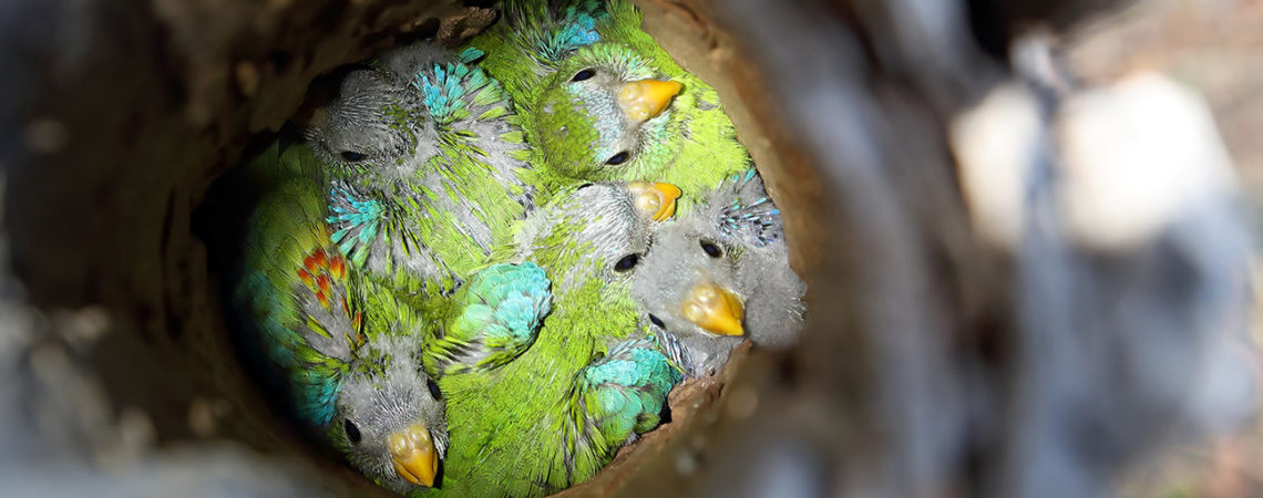 Turquoise Part chicks © Chris Tzaros