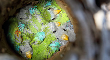 Turquoise Part chicks © Chris Tzaros